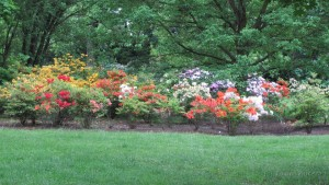 kompozice pěnišníky Rhododendron kultivar 1